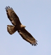 Hunting: CABS film another buzzard gunned down, 50 illegal bird callers found
