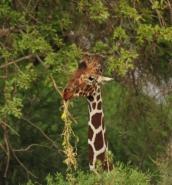 Safaris and more at Samburu, Kenya