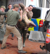 Wild boars rampage through German town, injuring four