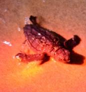 Turtle eggs hatch in Golden Bay