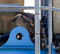 Griffon vulture stowaway rescued and transferred to Sicily