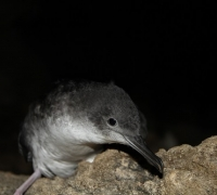 A helping hand for Yelkouan Shearwaters and baby sparrows