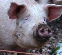Hogs' manure causing multi-million headache