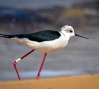 Ringed Black-winged Stilt recovered in Malta after 16 years