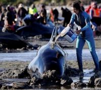 650 whales stranded on New Zealand coast