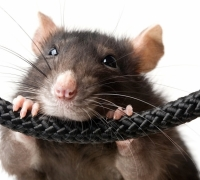 Rat infestation at BOV Preluna Towers branch