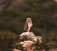 Short-eared owls breed successfully in bird sanctuary