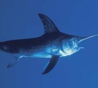 Malta against proposed EU introduction of swordfish quotas