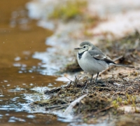 Record number of wagtails roost in Valletta this season