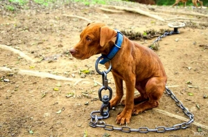 It is now illegal to chain dogs