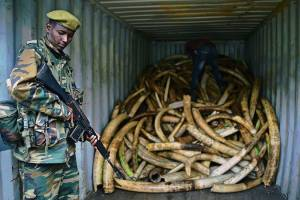 Illegal ivory seizures hit record high last year, according to report
