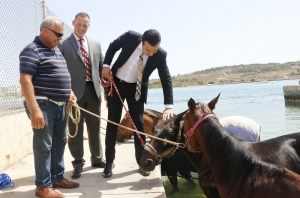 Horses now have their own swimming zone in Marsaxlokk