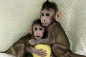 Chinese scientists successfully clone monkeys