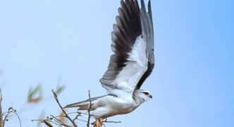 First ever: black-winged kite sighted in Malta