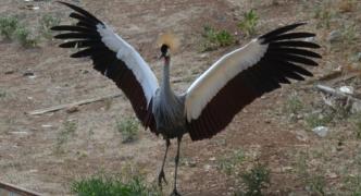 [PHOTOS] Crowned Crane seeks getaway from San Anton Gardens
