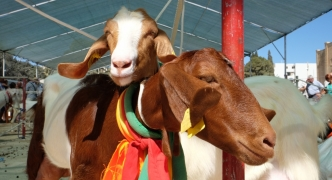 [SLIDESHOW] Livestock and crafts on display as Santa Marija tradition keeps going strong