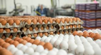 All Maltese-produced eggs free of biocides and Fipronil residue
