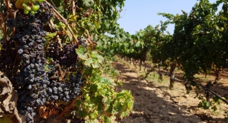 [WATCH] Drought sees 35% of indigenous vines dry out