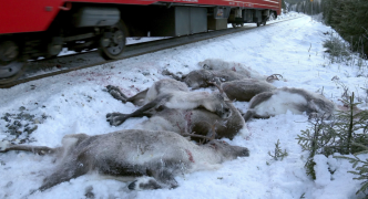 Norway: more than 100 reindeer killed by freight trains in 'bloodbath'