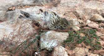 Finch trapping season was 'catch and trade business' - BirdLife
