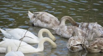 Hunters tell BirdLife they don't need their help to protect Gozo swans