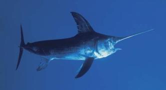 Mediterranean swordfish threatened by overfishing, WWF tells fishing nations