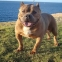 Rumble, Malta's first American Bully dog, passes away