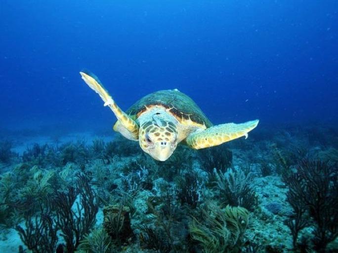 A loggerhead sea turtle