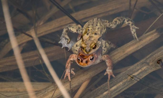 The export of edible frogs is a lucrative trade, with large markets in France and China where the amphibians are a delicacy (Photo: Christian Bruna/EPA)