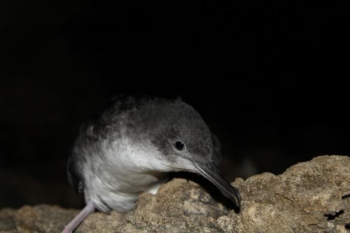 Yelkouan fledgling Photo by Ben Metzger