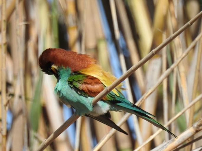 Bee-eaters and other smaller passerines make it to Malta in the beginning of September