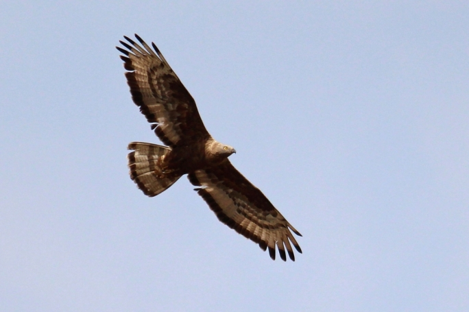 An adult Honey Buzzard photographed at Gharghur on 23 September (Photo by Tim Micallef)