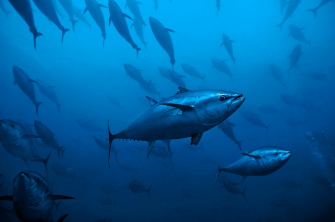 The main species landed, blue fin tuna, went up by 97.1%