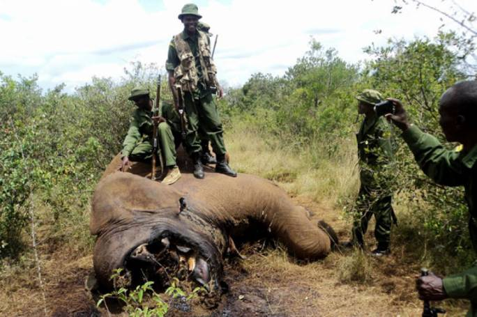 KWS rangers examine the carcass of an elephant killed at Logorate near Mugie ranch in Samburu County (Photo: Nation Media Group)
