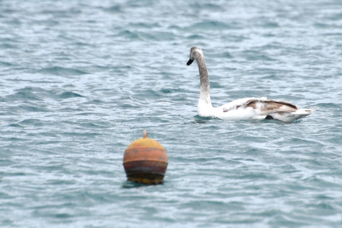 The swan is currently in Birzebbuga (Photo: James Bianchi/MediaToday)