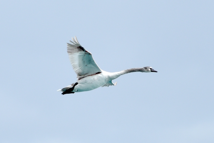 The injured Mute Swan flies over Birzebbugia (Photo: James Bianchi/MediaToday)