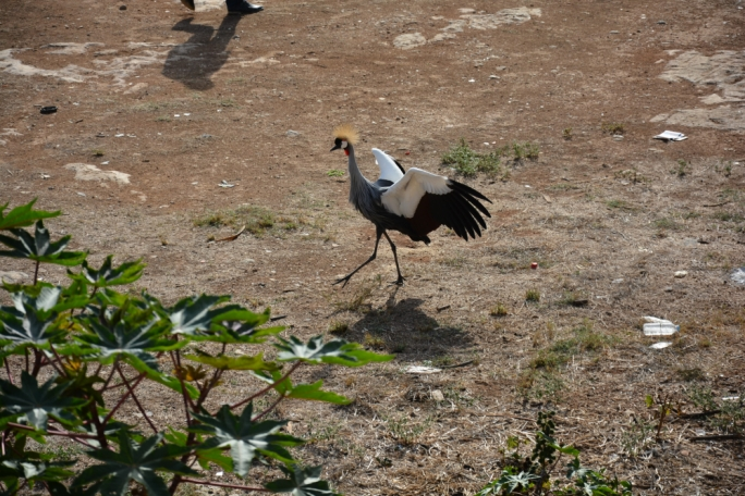 The Crowned Crane gave quite a spectacle