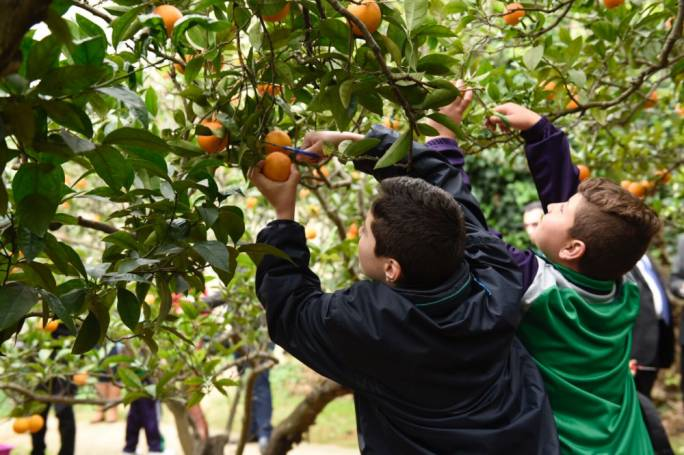 [WATCH] Schoolchildren pick oranges ahead of Sunday's Festa Tac-Citru