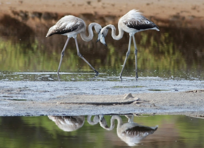 Hunters spot flamingoes in Qawra