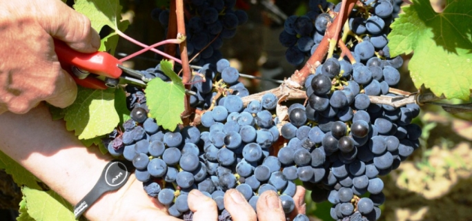 All of Delicata's grapes are handled gently and hand-picked into small crates.