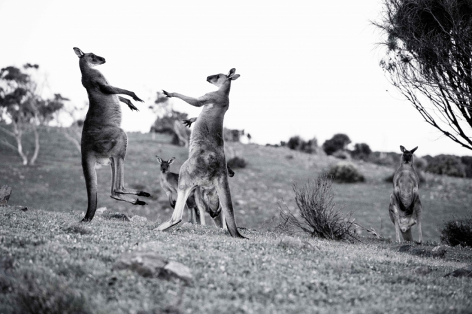 Emus, euros and kangaroos graze in these lands side by side with endangered yellow tailed wallabies
