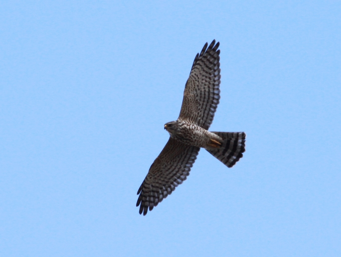 The levant sparrowhawk spotted in Buskett (Photo: Raymond Galea)