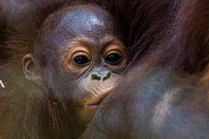 Orangutans have been put on the priority list for WWF