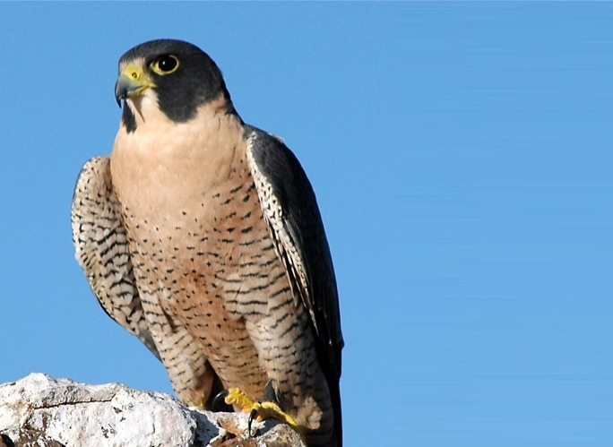 Peregrine Falcon - Falco peregrinus brookei