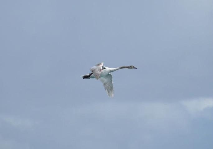 The injured Mute Swan flies over Birzebbuga (Photo: James Bianchi/MediaToday)