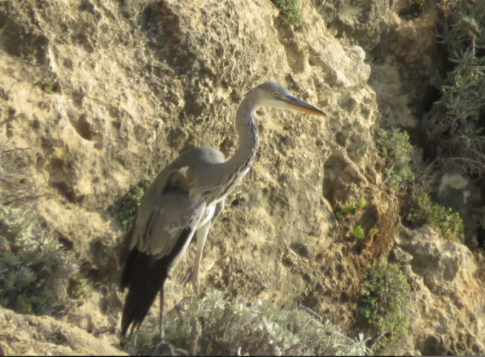A protected Grey Heron [pictured] was shot and seen landing on a cliff edge on Dwejra, Gozo