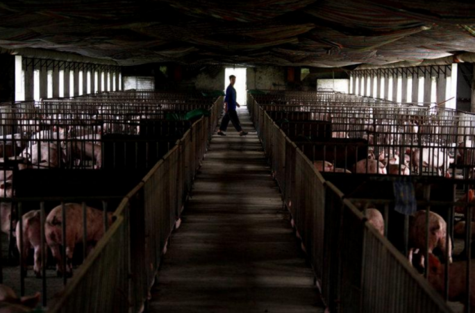 Pens containing pigs at a farm located on the outskirts of Beijing September 7, 2012. Photo: Reuters