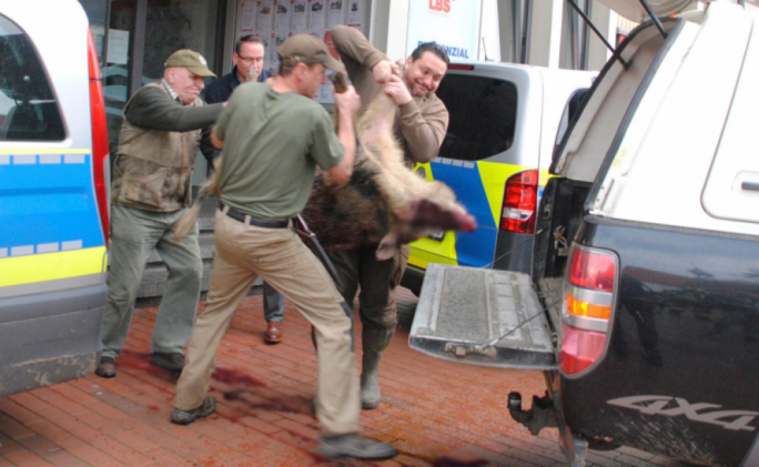 Hunstmen carry off one of the boars that ran wild through the town of Heide (Photo: Helge Holmson/DPA)