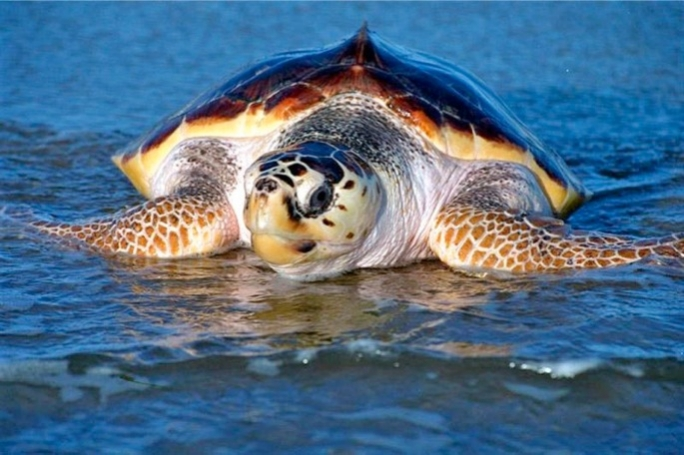 The loggerhead is the most abundant sea turtle in the Mediterranean Sea, and the US.