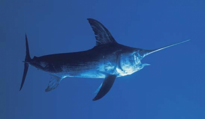 Maltese government totally against introduction of swordfish quotas